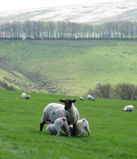 Spring lambs on Exmoor