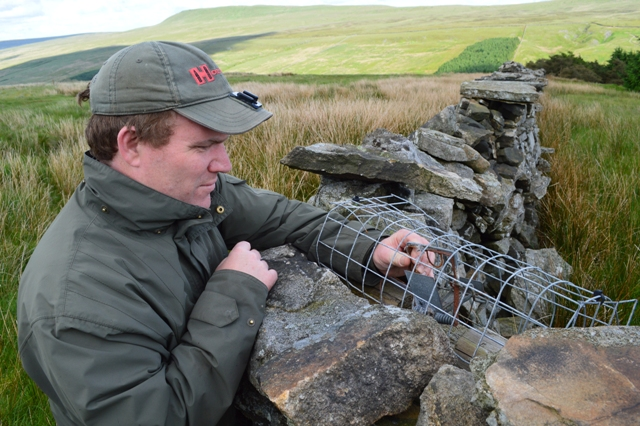 Checking a trap designed for stoats and weasels.