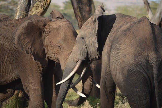 The conservancies have helped to reduce ivory poaching.